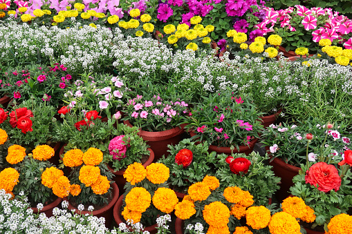 Stock photo of rows of mixed annual flowers in pink, purple, yellow, white and orange colours in summer garden border, colourful annual bedding plants of variety of flower like daisies, pansies and petunias. Flowers in full bloom growing in summer border.