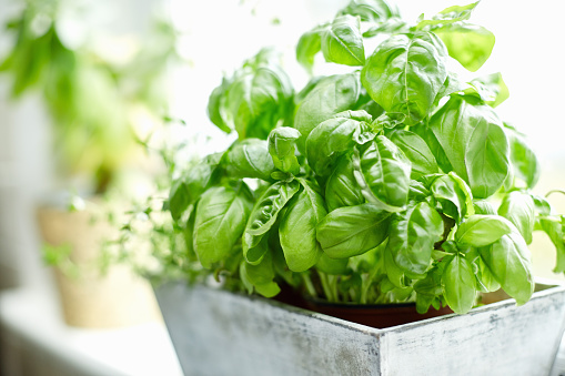 Close-up image of fresh basil plant. Healthy herb is growing in pot. Potted plant is placed on window sill. Focus is on fresh and green basil leaves. It is in brightly lit home.