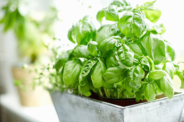 Close-up image of fresh basil plant Close-up image of fresh basil plant. Healthy herb is growing in pot. Potted plant is placed on window sill. Focus is on fresh and green basil leaves. It is in brightly lit home. basil stock pictures, royalty-free photos & images