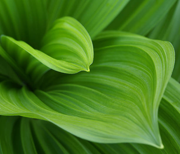Closeup image of green leaves growing from the center bud Two pattern leaves macro. Full frame. Limited area of focus. macrophotography stock pictures, royalty-free photos & images
