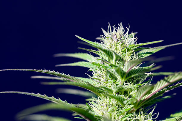Close-up image of marijuana plant against blue sky Medical cannabis or medicinal marijuana. Medical cannabis (or medical marijuana) refers to the use of cannabis and its constituent cannabinoids, such as tetrahydrocannabinol (THC) and cannabidiol (CBD), as medical therapy to treat disease or alleviate symptoms. plant trichome stock pictures, royalty-free photos & images