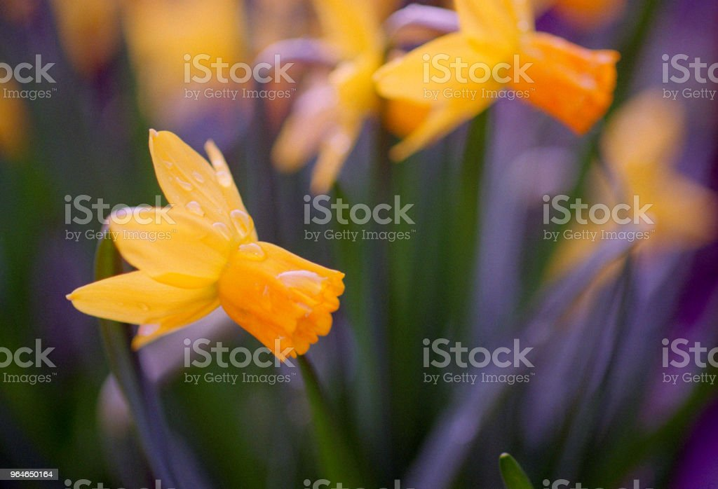Close-up image of narcissus flowers. Shot on film royalty-free stock photo