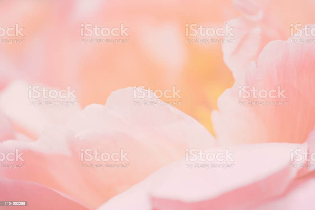 Close up image of pastel pink flower, floral background, abstract...
