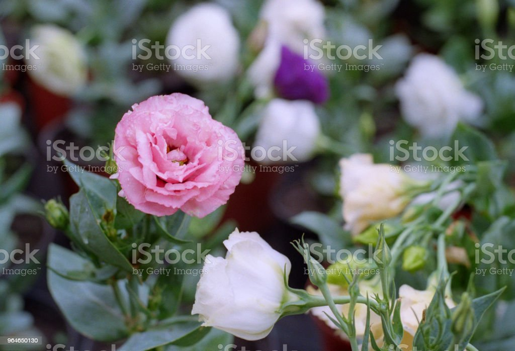 Close-up image of pink flower. Shot on film royalty-free stock photo