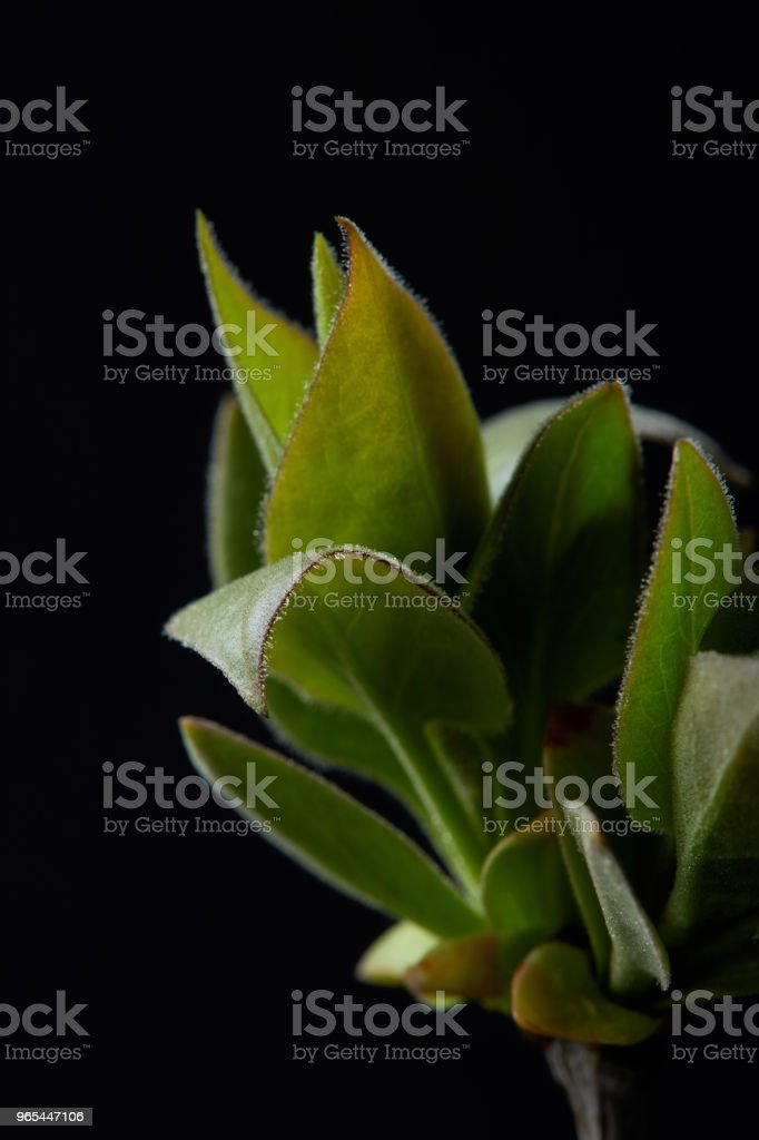 closeup image of plant leaves isolated on black background royalty-free stock photo