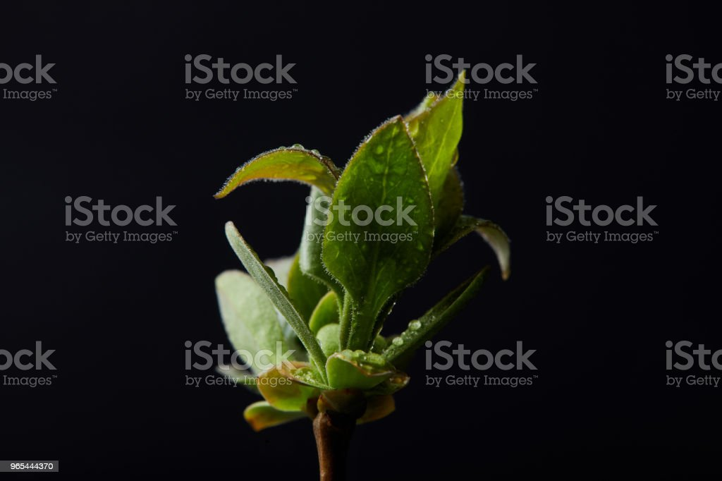 closeup image of plant leaves with water drops isolated on black background royalty-free stock photo