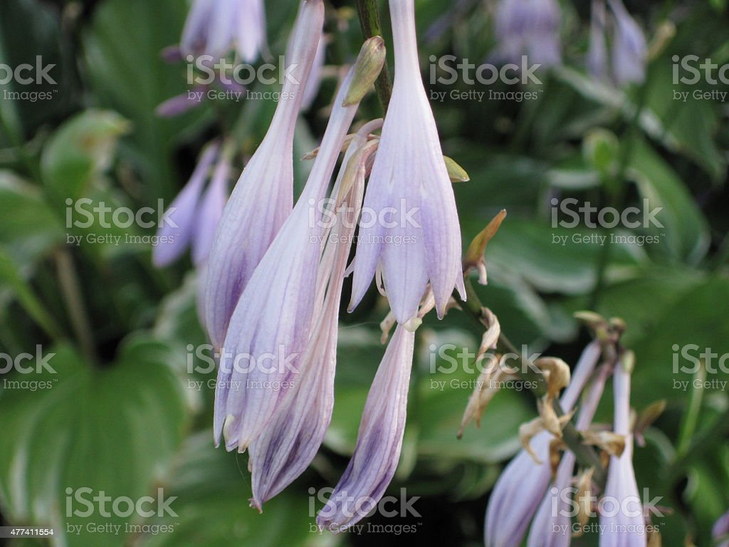 Close-Up Image of Purple Hosta Flowers - Horizontal stock photo