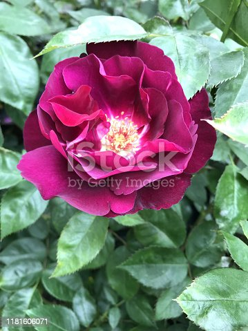 Stock photo showing purple rose flowers in flower garden. This beautiful rose is fragrant and used for vase, valentine's day gift or floral arrangement in wedding.
