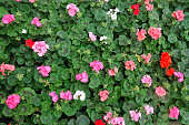 Stock photo of red and pink geraniums in flower / bloom close-up, flowering English geranium flowers plant petals and blurred green leaves gardening background, pelargonium houseplant