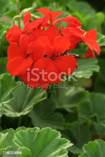Stock photo of red geraniums in flower / bloom close-up, flowering English geranium flowers plant petals and blurred green leaves gardening background / pelargonium houseplant photo growing in garden pot with green leaves as wallpaper background