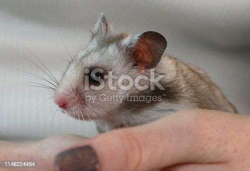 Close-up stock photo showing a small silver grey Syrian hamster, with his head in full frame, happy face, eyes, sparkling ears and twitching whiskers, as well as pink nose and mouth. This cute little animal is being held in its owner's hand and resembles a small mouse / gerbil / baby rat, with its big alert ears listening for noises and potential predators. The grey hamster pet is pictured in a girl's hand, showing her fingers and painted fingernails, with trendy glitter nail polish / nail varish visible on the nails.