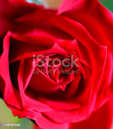 Close-up stock photo showing a single red rose, growing on a dwarf rosa houseplant, known commonly as a miniature rose or by the Latin name - Rosa chinensis (various hybrids), growing in a white flower pot / plant pot. The healthy plant is showing in full flower, with the details of the petals being clearly visible and standing out against the blurred background of green leaves and the interior of the house. Both single flowers / flowerbuds and bunches of red roses are considered to be the ultimate romantic gesture, with these fragrant blooms and miniature rose houseplants being commonly sent by people in love to their respective partners and loved ones, however far away, especially for Valentine's Day romance with an indulgent, big box of chocolates.