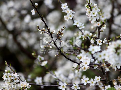 Close-up photo of Sloe (Prunus spinosa) flowers with the focus on foreground