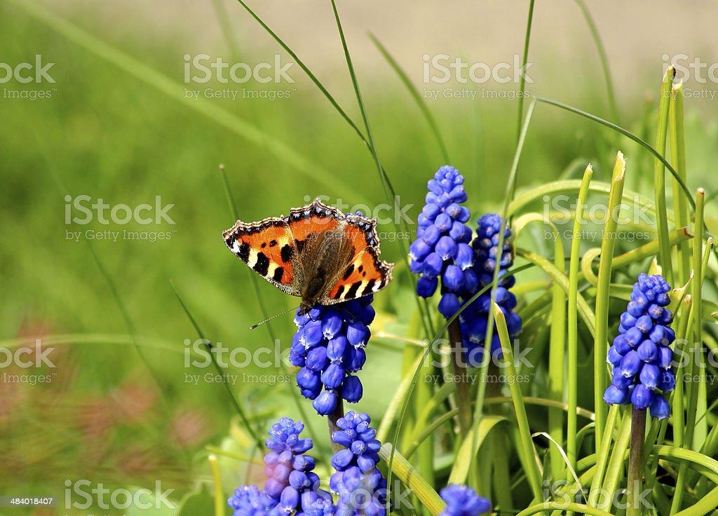 Close-up image of Small Tortoiseshell butterfly on a  grape hyacinth stock photo
