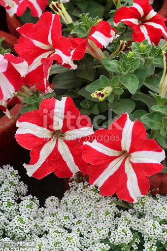 Stock photo showing sweet alyssum planted along side raised terracotta pots of petunia plants with red and white striped petals.