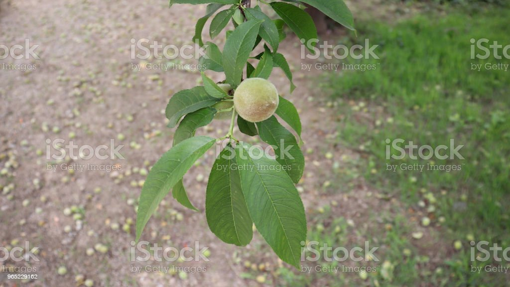 A close-up image of the peach fruit. royalty-free stock photo