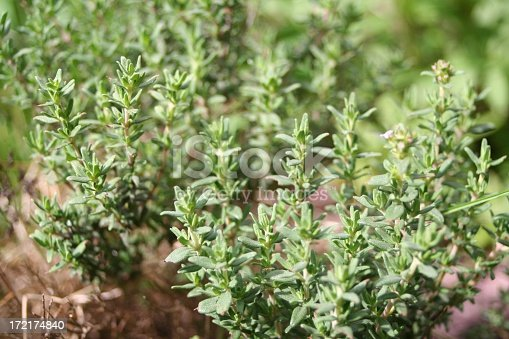 Thyme in the garden, shallow dof