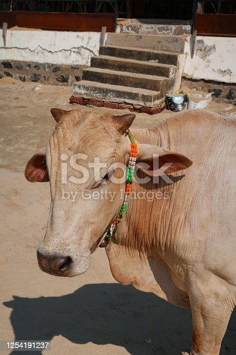 Stock photo showing a head shot of a sacred cow walking on beach sand at Palolem Beach, Goa holiday vacation, South India.