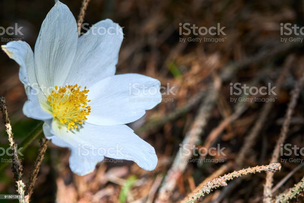 Closeup Image of Wood anemone (Anemone nemorosa) growing wild in the forest in springtime stock photo