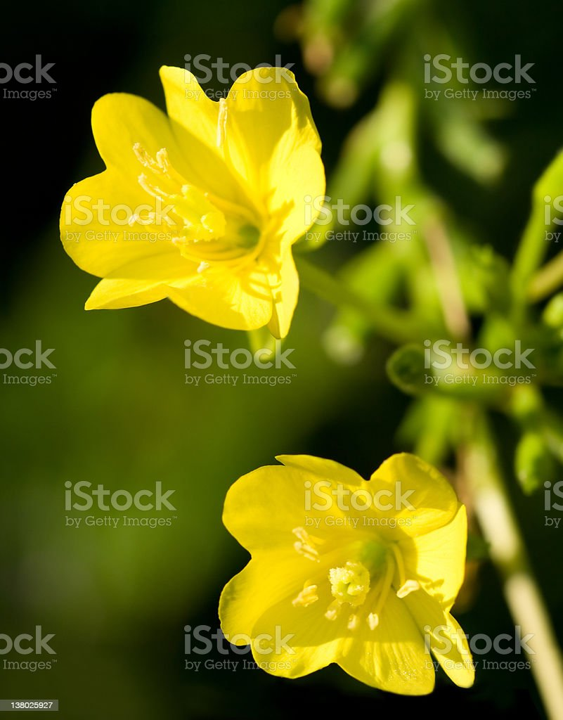 Close-up image of yellow Evening Primrose plant royalty-free stock photo