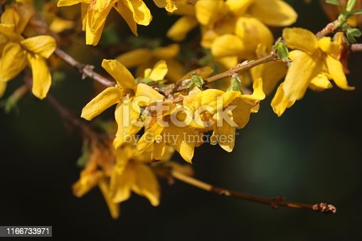 Stock photo of Close-up image of yellow forsythia flowers growing in spring garden against blurred green gardening background, flowering forsythia plant in full sun sunshine (Lynwood Gold), shrubby plants species and shrubs for spring gardens and flower hedges hedging
