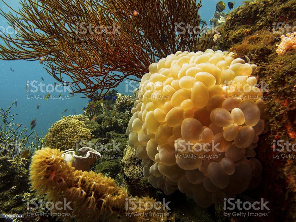 근접 팽창된 sacks of 버블산호-Plerogyra sinuosa 인도네시아 royalty-free 스톡 사진