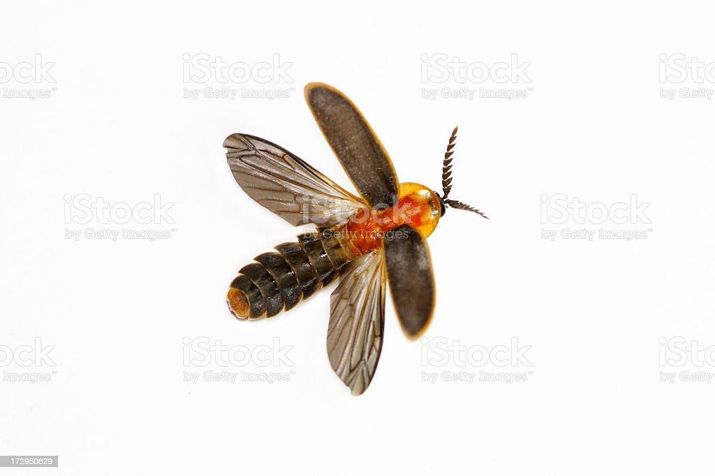 Close-up isolated firefly on a white background The broad orange-black firefly ( Pyrocoelia praetexta ) in flying action Animal Stock Photo