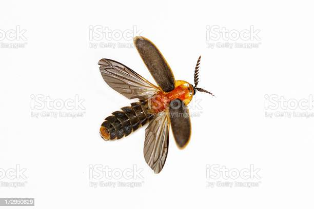 Closeup Isolated Firefly On A White Background Stock Photo - Download Image Now