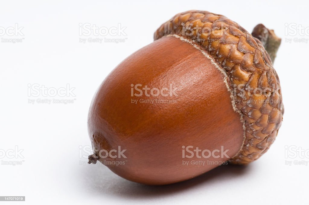 Close-up isolation of an acorn on white stock photo