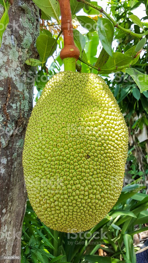 close-up jackfruit on tree stock photo