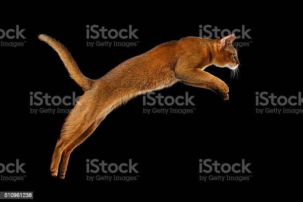 Closeup jumping abyssinian cat isolated on black background in picture id510961238?b=1&k=6&m=510961238&s=612x612&h=fg6trr4wmfufpz4gtkbyzat2wjkppcmhsobvmcsbvfm=