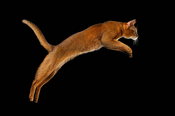 Closeup Jumping Abyssinian cat Isolated on black background in Profile stock photo