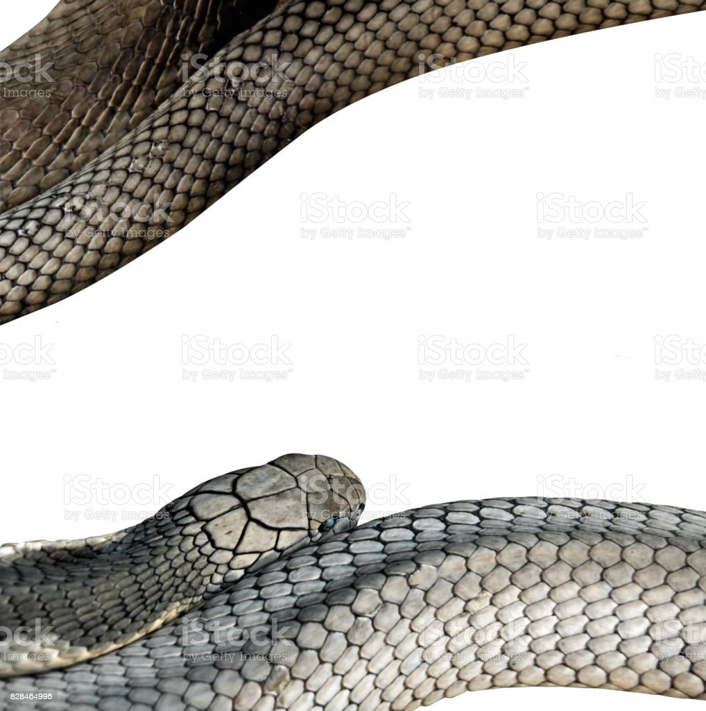 Closeup King Cobra on White Background, Clipping Path stock photo