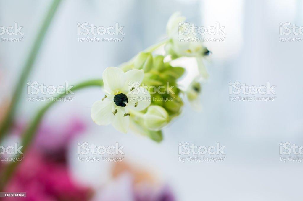 closeup ladybug cravling on fresh ornithogalum flowers on blurred...
