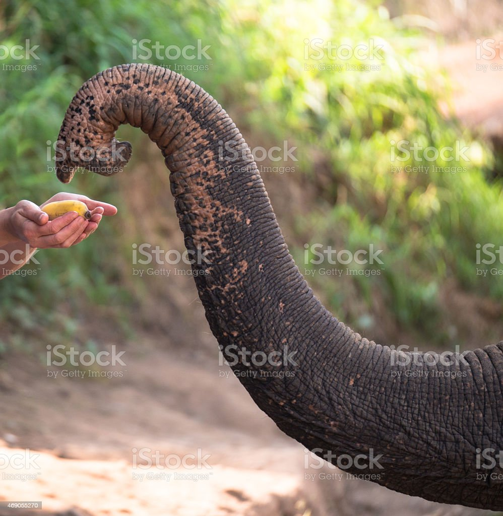 Closeup large trunk  elephant which takes banana stock photo