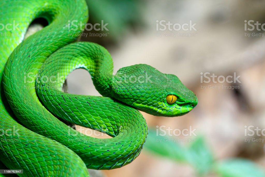 Closeup Large-eyed Green Pit Viper - Royalty-free Aggression Stock Photo