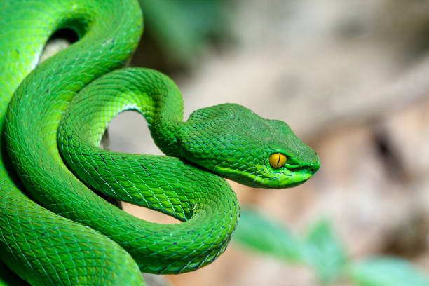 Closeup Large-eyed Green Pit Viper stock photo