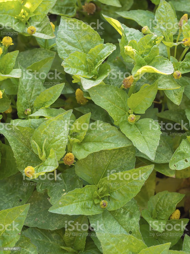 Closeup leaves of Para cress or Tooth-ache Plant (Acmella oleracea) stock photo