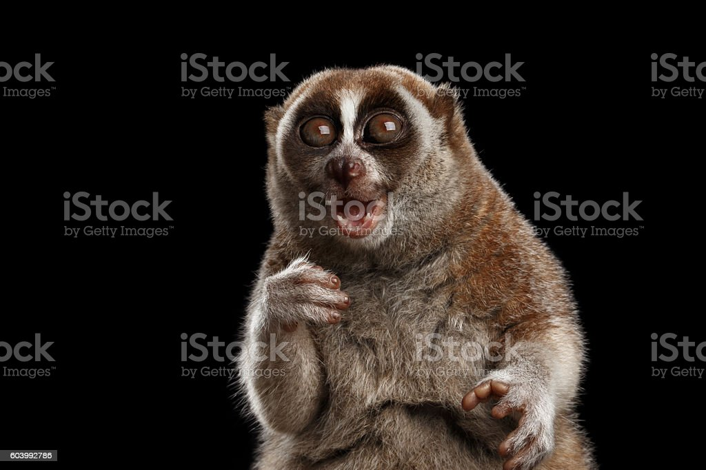 Close-up Lemur Slow Loris Isolated Black background - foto de acervo