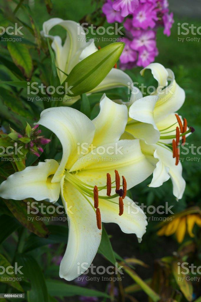 closeup Lily flowers in a garden foto stock royalty-free
