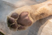 closeup lion feet or tiger paw.