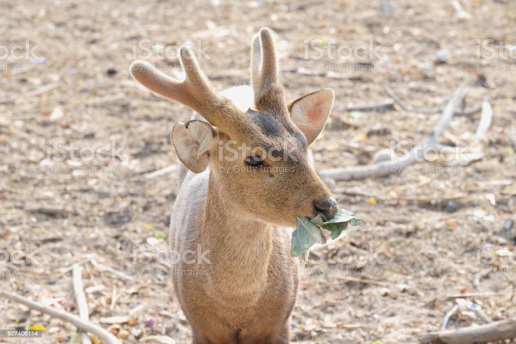 closeup little deer  chewing grass stock photo