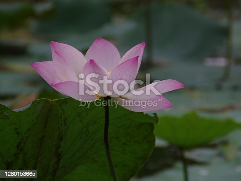 aquatic, baby, background, bean, beautiful, beauty, bloom, blooming, blossom, botanical, botany, bualuang, bud, china, closeup, flora, floral, flower, foliage, fresh, garden, green, lake, leaf, light, lotus, man, natural, nature, nelumbo, nucifera, orange, oriental, petal, pink, plant, pond, sacred, sky, spring, stalk, summer, tranquility, tropical, vietnam, water, waterlily, white, wild, wonderland