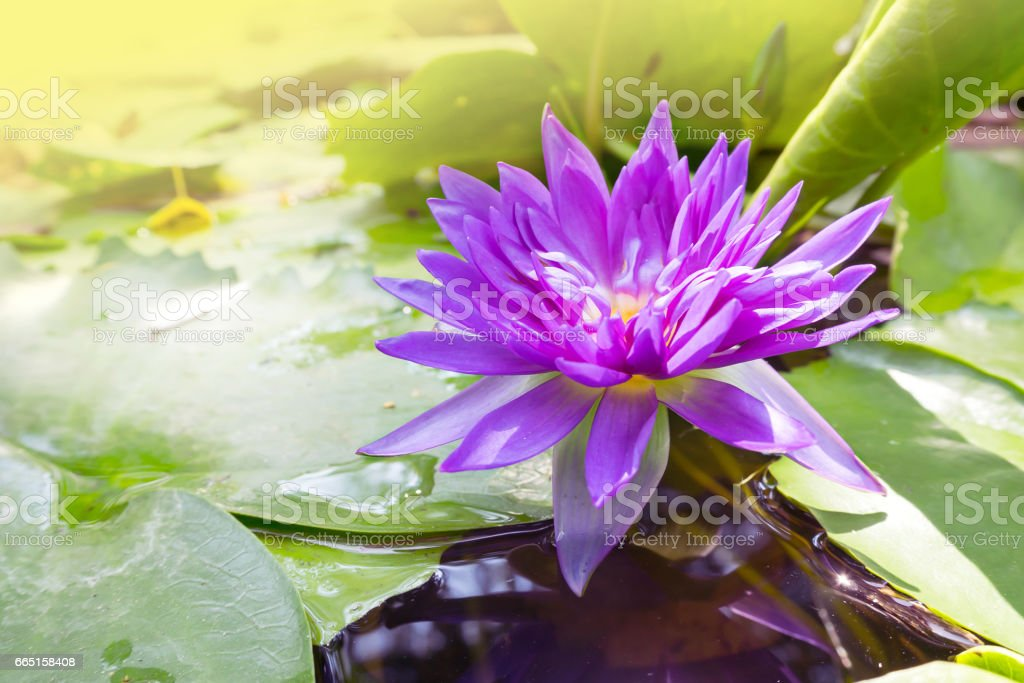Closeup lotus flower blooming in a pound with color filter effect closeup lotus flower blooming in a pound with color filter effect royalty free mightylinksfo