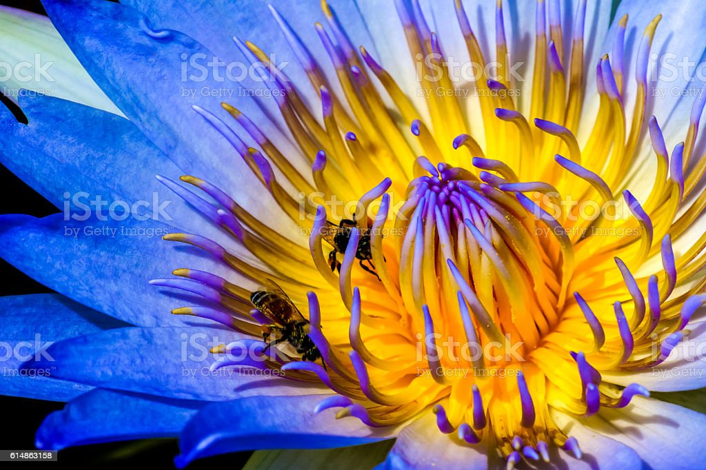 Closeup lotus with bees inside stock photo