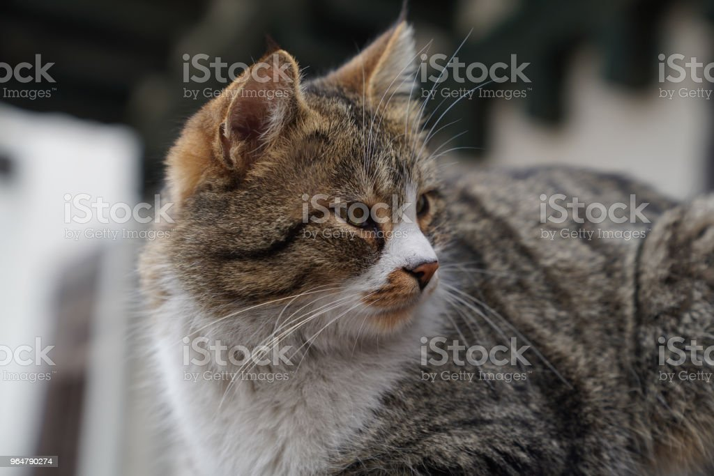 Closeup lovely gray cat looking back tiredly royalty-free stock photo