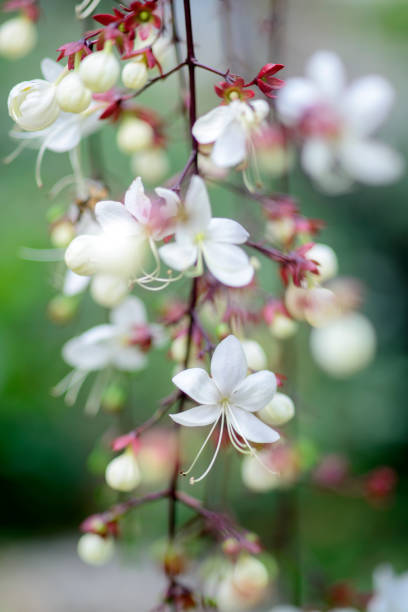 Royalty free tropical white flowers clerodendrum wallichii pictures closeup lovely tropical white flowers clerodendrum wallichii stock photo mightylinksfo