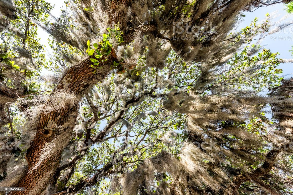 Closeup low angle, looking up view of tall southern live oak tree...