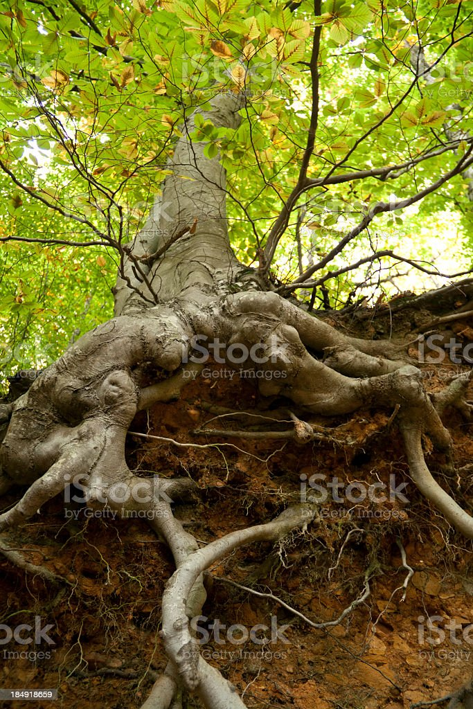 Close-up low angle view of a tree's protruding roots stock photo