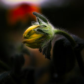 istock Closeup macro of a Black Eyed Susan 1283635046